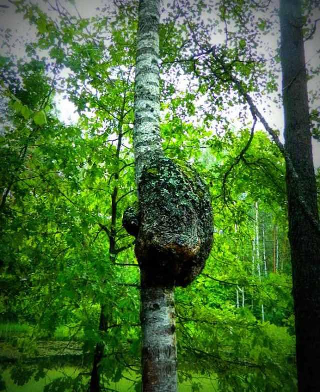 tree cancer Europos Parkas