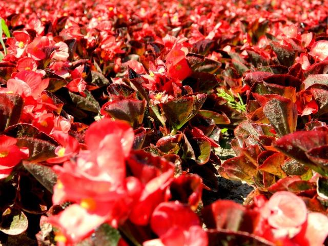 flowers Kaunas