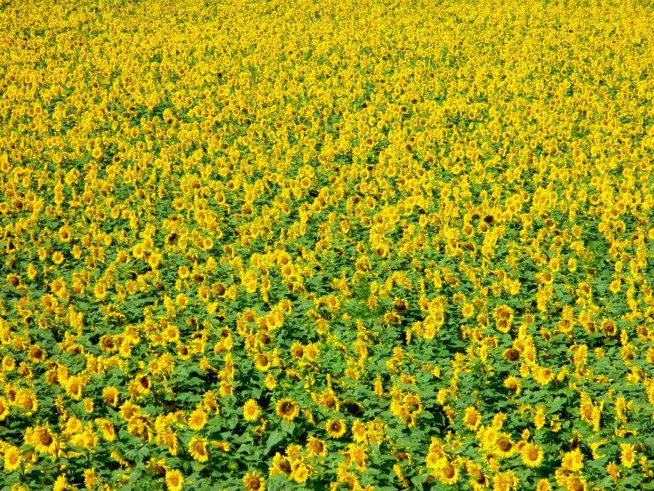 Sonnenblumen2
