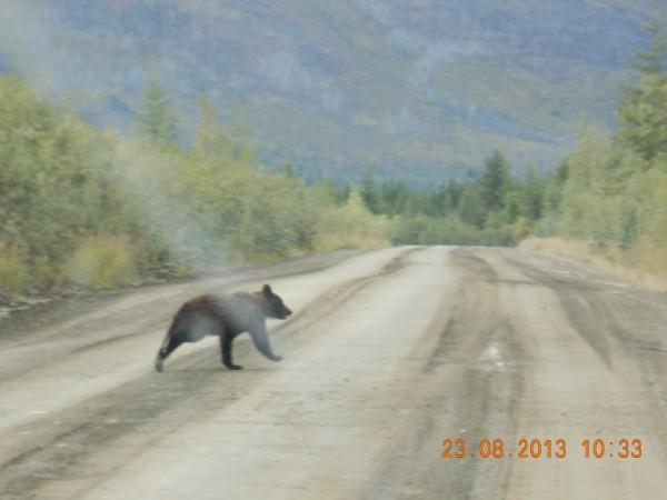 Timotei rad bear
