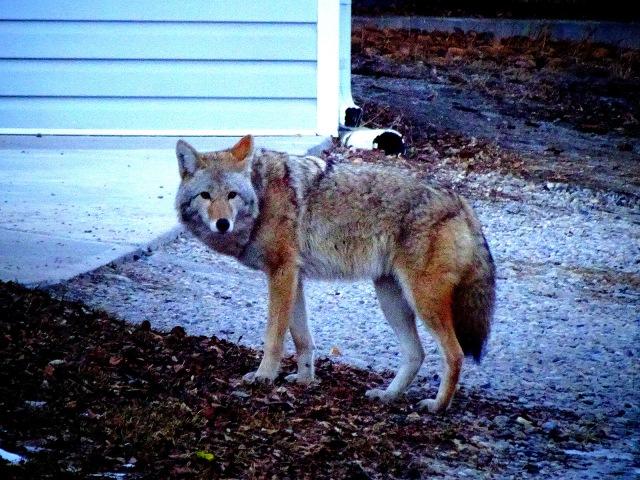 coyote Huntington Hills 1