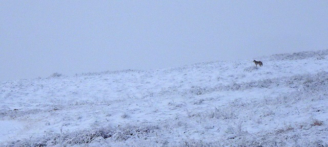 coyote Nose Hill Park snow.JPG
