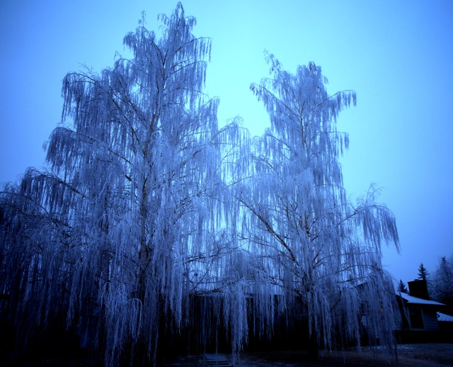 trees frozen Calgary.JPG